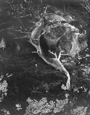 No. 6 Cypress-Point Lobos   RISD Museum